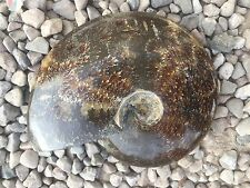 "Large Ammonite Sea Shell Fossil From Madagascar 7"" 1.2K"