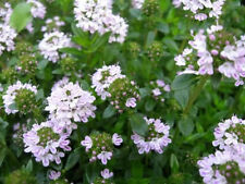 150 Creeping Winter Savory Satureja Montana Herb Flower Seeds + Gift & Comb S/H