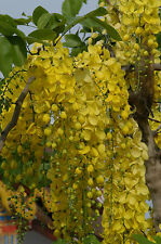 Cassia fistula - Golden shower tree - 10 Seeds
