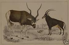 Antilope Säbelantilope Impala Gazelle Serengeti Safari