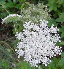 Queen Anne-s Lace / Wild Carrot (Daucus carota) 400 seeds