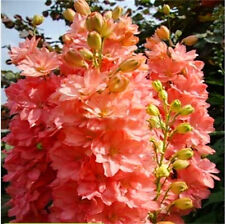 Seeds Delphinium King Salmon Giant Flower Annual Garden Cut Heirloom Ukraine