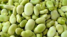 15 Fresh Seeds - Vicia Faba - Tic Beans / Djerba Beans - Malta variety Heirloom