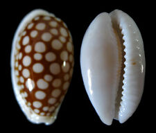 Conchiglia Shell CYPRAEA CRIBRARIA Filippine 32,9 mm # 344