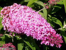 3 X Buddleia Pink Delight Butterfly Bush Shrub Jumbo plug plant