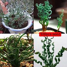 100Xlatifolia spring grass seed albuca namaquensis chinese ornamental bonsai QC