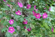 ROSES- ROSA INERMIS -THORNLESS ROSES - SUITABLE FOR HEDGING.  20 SEEDS