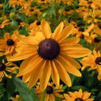 Rudbeckia - Marmalade - 500 Seeds