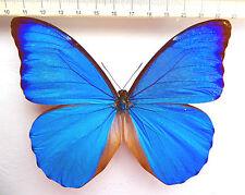 Morpho Anaxibia maschi ex Santa Catarina S-Brasile m1/3