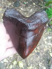 Big long 6 inches megalodon tooth replica fossil big fossils giant sharks teeth