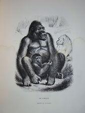 Gravure GORILLE SINGES GORILLA MONKEYS BOCOURT ZOOLOGIE 1860 PRIMATES ANIMAUX