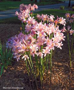5 Amaryllis Belladonna - Pink Naked Ladies - Surprise Lily - 5 BULBS PER ORDER