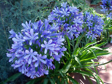 Agapanthus Blue Giant Bare Root Divisions x 3