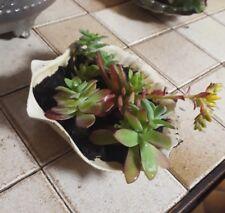 Echeveria Succulente, Cactus et coquillage 10cm- idéal cadeau fête des mères