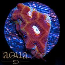 New listing Asd - 031 Facepalm Platy - Wysiwyg - Aqua Sd Live Coral Frag