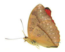 Unmounted Butterfly/Nymphalidae - Cymothoe sangaris sangaris, male, A1/A-
