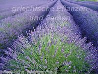 🔥🌿 echter Lavendel Heilpflanze  Duftpflanze kräuter 40 frische Samen