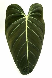 Philodendron Melanochrysum Black Gold Rare Houseplant CUTTING XLarge Mature Leaf