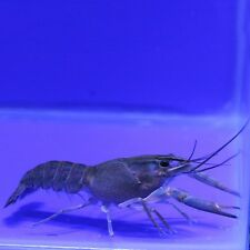 Live aquatic blue lobster crayfish