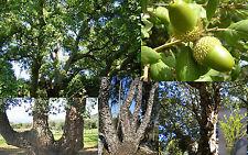 Quercus suber Kork-Eiche cork oak tree 1 Pflanze plant oder prebonsai vq