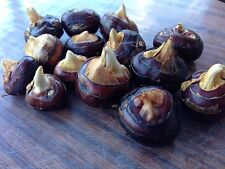 Chinese Water Chestnut x3 Plants /3 Corms -- Organic Homegrown Free Postage