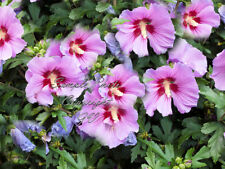 20 Seeds Rose of Sharon Tropical Blooms Shrub Hibiscus syriacus Overstock Price