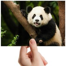 "Baby Panda Bear club Animal Small Photograph 6"" x 4"" Art Print Photo Gift #14565"