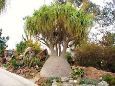 8 Semillas - Pata de elefante - BEAUCARNEA RECURVATA - Jardin Garden Semi Samen