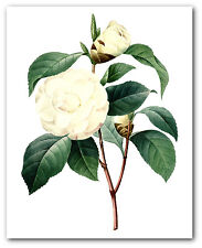 White Flower Print, Botanical Camelia Art, 8 x 10 Inches, Unframed