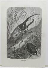Hercule Coccinelle (Dynastes Hercules) blatthornkäfer Coccinelle Gravure sur bois de 1900