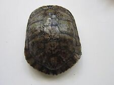 Turtle Shells Red Eared Slider 8 x 8 Long Carapace Taxidermy 4