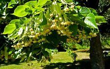 🌳 Linden tree 🌳(Tilia platyphyllos)🌳Or Lime Tree Finest 5-Seeds🌳UK Seller.🌳