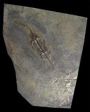 NSF- REPLICA Keichousaurus hui Dinosaur cast marine vertebrate Fossil