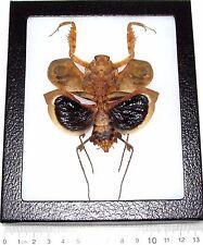Real Framed Praying Mantis Deroplatys Dessicata Black Death Female Light Recto