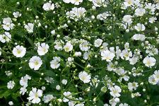 25 Semillas Gipsofila Flor Blanca GYPSOPHILA ELEGANS - Flores Jardín  Samen Semi
