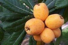 Loquat Big Jim - Grafted Tree - 2 to 3  Feet Tall - Ship in 3 Gal Pot