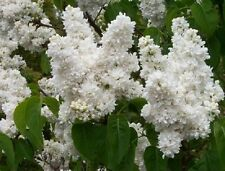 White LILAC Syringa SHRUB TREE MADAME LEMOINE Lg Pot Scented 18ins + FREE GIFT