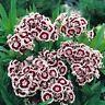 Dianthus- Holborn- 200  Seeds- BOGO 50% off SALE