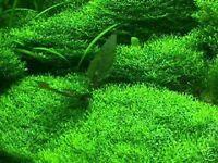 Bodengrund & Filter : Unterwassergras, Wasserrasen für´s Aquarium Wasserpflanzen