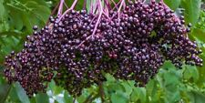 Elderberry Seeds - Grow Your Own Fruit for Making Preserves & Baking - 25 Seeds