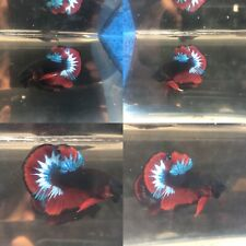 New listing Live Betta Fish Vip Quality Plakat Black Hell Boy Copper Ready To Breed. #1