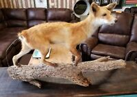 Red Fox Mount Taxidermy Vintage on Drift Wood Condition Issues