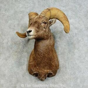 #16128 P   Bighorn Sheep Taxidermy Shoulder Mount For Sale