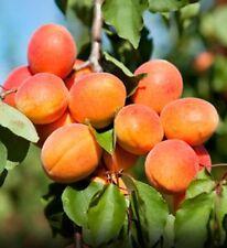 Organic Apricot tree Kernels Seeds - Prunus Mandshurica ( 20 organic Seeds)