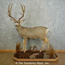 #16747 P+ | Mule Deer Life-Size Taxidermy Mount For Sale