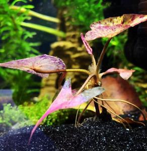 Dwarf Aquarium Lily Nymphaea Stellata Bulb - Live Aquarium Plants BUY 2GET1FREE