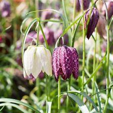 FRITILLARIA BULBS 'MELEAGRIS'   SPRING FLOWERING GARDEN FLOWERS BULBS PLANTS