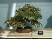 Bonsai -acer Palmatum Kratzdistel Japanese Maple- 10 Samen