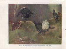 VINTAGE BIRD PRINT ~ BLACKCOCK & GREYHEN