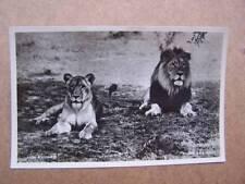 Big Game Safari Africa Lion